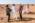 Arabie saoudite, région de Al Jawf, Sakaka, Camel Site. Après son départ; les co-directeurs de la mission,  Maria Gagnin, Guillaume Charloux, se félicitent avec un des responsables de la SCTH (Saudi Commission for Tourism and Heritage) du déroulement de la visite du Camel Site par l'Emir de la région d'Al Jawf, en espérant que leurs requêtes, notamment sur la nécessité de protéger et de valoriser le Camel Site, aboutiront.